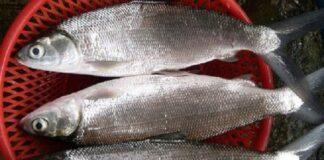 Tahapan budidaya bandeng dimulai dari pendederan, penggelondongan, pembesaran sampai panen bandeng ukuran konsumsi 3 – 4 ekor per kilogram.
