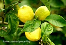 Jeruk lemon dapat menjaga kesehatan wajah sehingga selalu terlihat cantik.