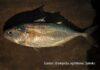 Kandungan omega 3 ikan kembung 2,4 gram per 100 gram atau 1,5 kali kandungan omega 3 ikan salmon.
