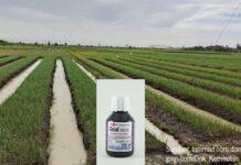 Cara aplikasi herbisida Goal 240 EC.