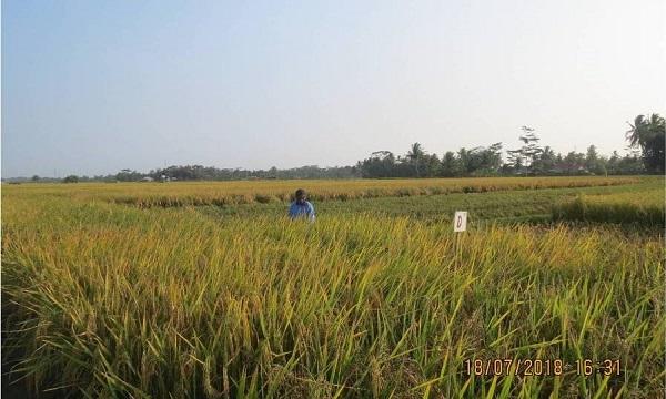 Rata-rata hasil varietas beras merah Pamera sekitar 6,43 ton GKG/ha.