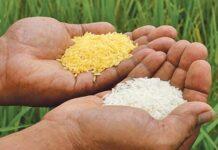 Padi transgenik Golden Rice diperdagangkan di Filipina.