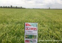 Membasmi gulma pada tanaman padi.