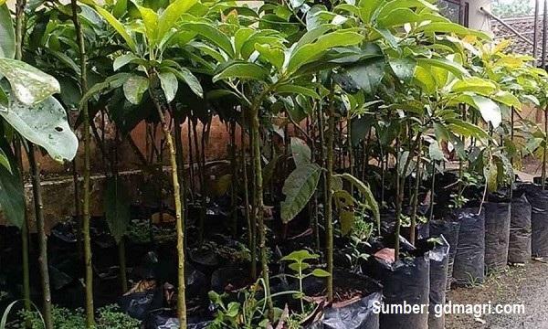 Bibit alpukat untuk ditanam di pekarangan.