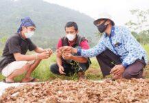Panen perdana petani jahe merah binaan YDBA dan PT Bintang Todjoe.